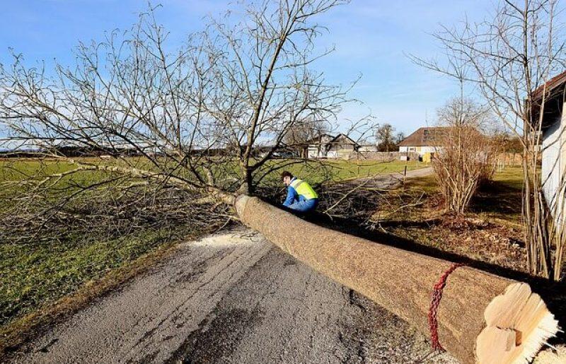 גיזום עצים ברחובות